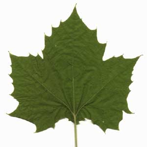 sycamore-leaf